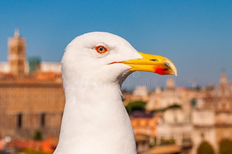 Portrait of white Seagull sitting on the roof. The Larus Argentatus or the European herring gull, seagull is a large gull up to 65. Close-up portrait of white stock photos