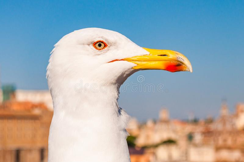 Portrait of white Seagull sitting on the roof. The Larus Argentatus or the European herring gull, seagull is a large gull up to 65. Close-up portrait of white royalty free stock image