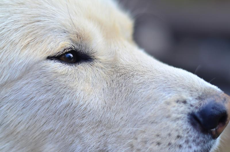 Portrait of the White Siberian Samoyed husky dog with heterochromia a phenomenon when the eyes have different colors in the day. Time outdoors stock photo