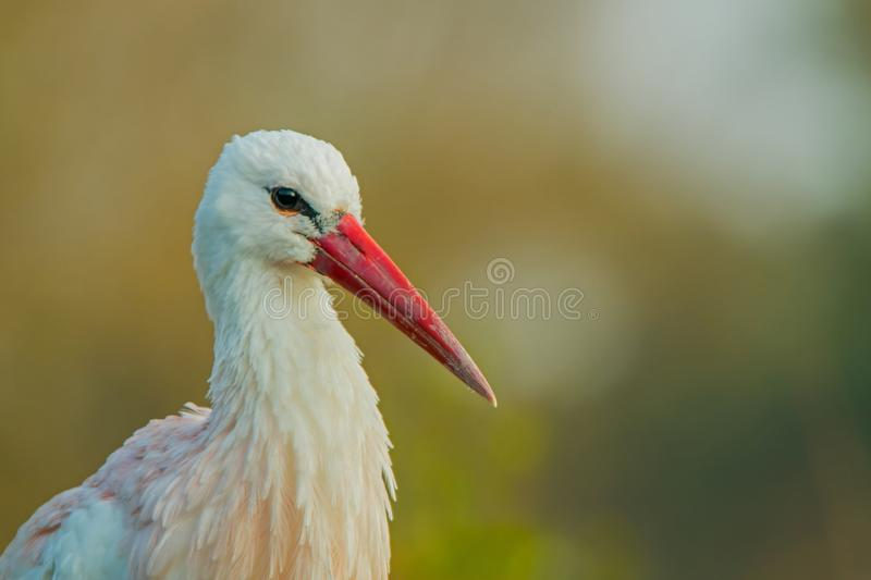 White stork. Portrait of a white stork. Ciconia ciconia royalty free stock image