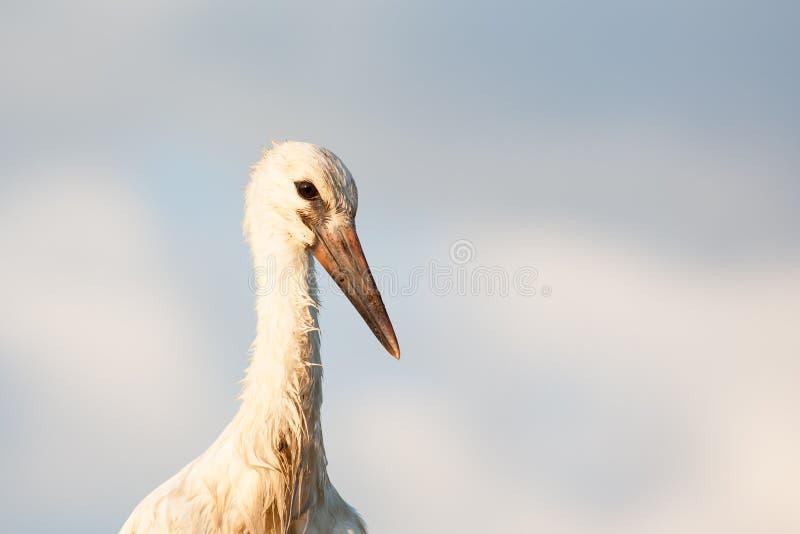Portrait of white stork stock image