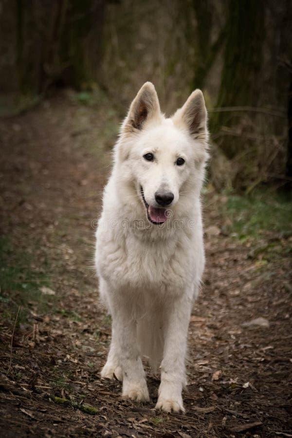 Portrait of white swiss shepherd dog in forest, mysterius atmosphere. Portrait of white swiss shepherd dog, who is standing in forest, mysterius atmosphere stock photo