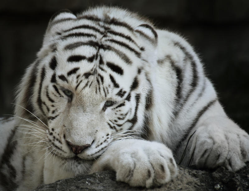 Portrait Of White Tiger. Close Up Shot royalty free stock photos