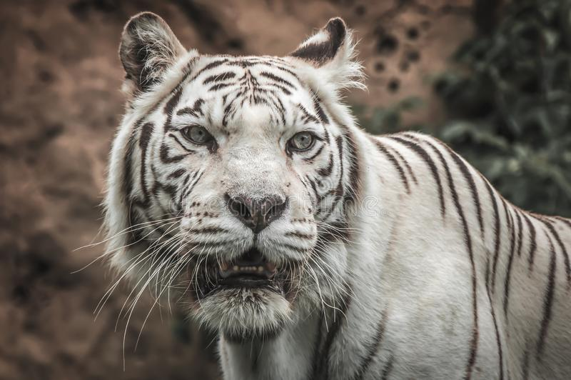 Portrait of a White Tiger. On grass in summer day stock images