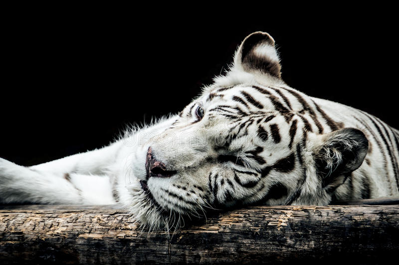 Portrait of a white tiger isolated on black. Background stock photography