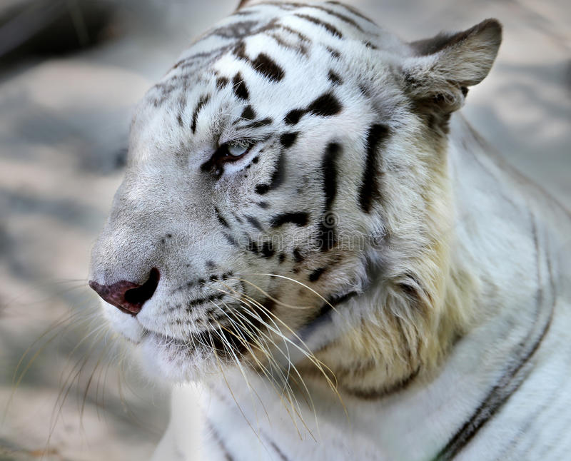 Portrait of a white tiger. Photo portrait of a white tiger in a zoo stock images