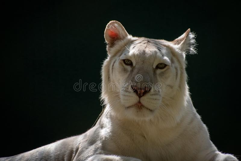 Portrait of a white tiger. Portrait of a beautiful white tiger in sunlight looking at the camera stock photography
