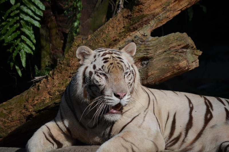 Portrait of a white tiger. Sitting royalty free stock photo