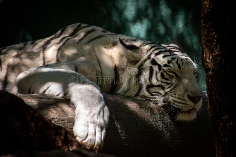 Portrait of a white tiger sleeping. Close up of a white tiger, laying on a log, sleeping stock images