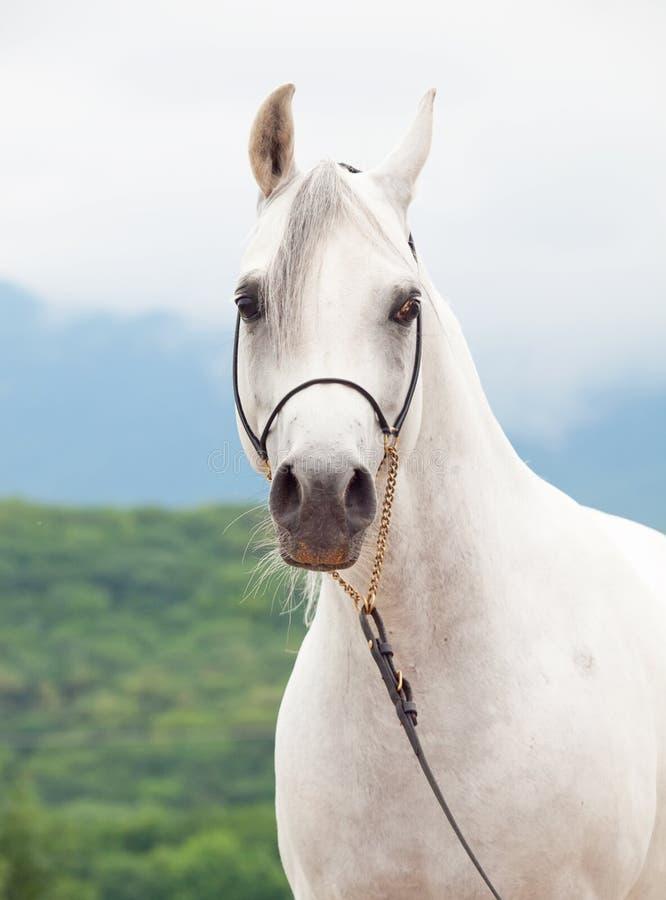Portrait of white wonderful purebred arabian horse stock photography