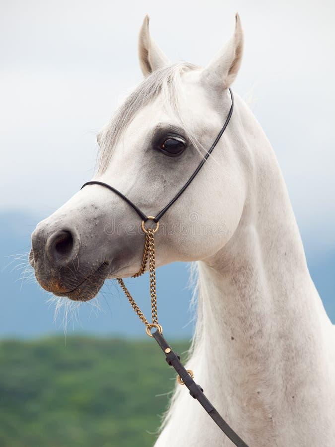 Portrait of white wonderful purebred arabian stallion royalty free stock photo