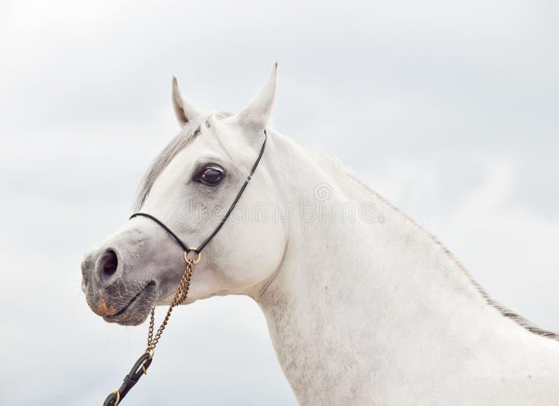 Portrait of white wonderful purebred arabian stallion royalty free stock photos