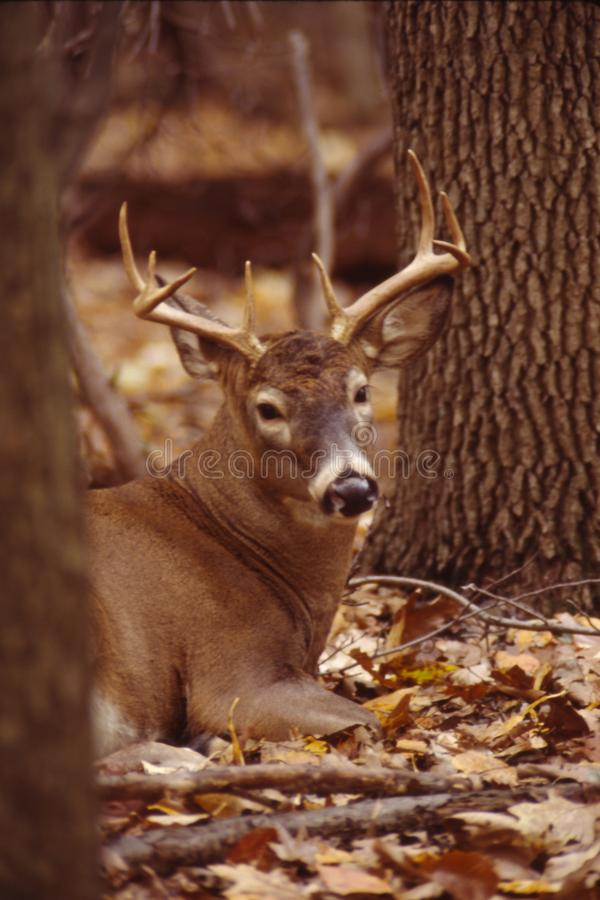 Download Portrait Of A Whitetail Buck Royalty Free Stock Image - Image: 11572196