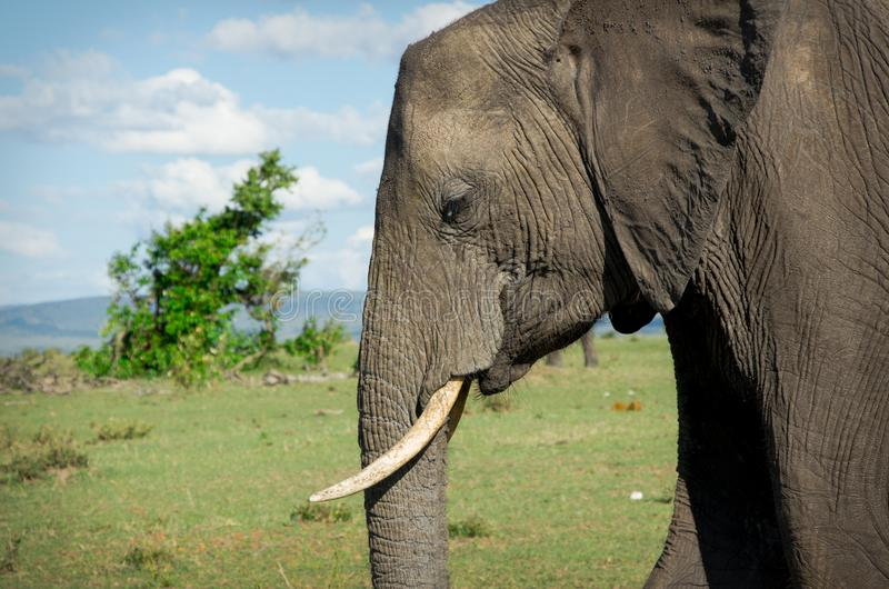 Portrait of wild adult african elephant royalty free stock photography