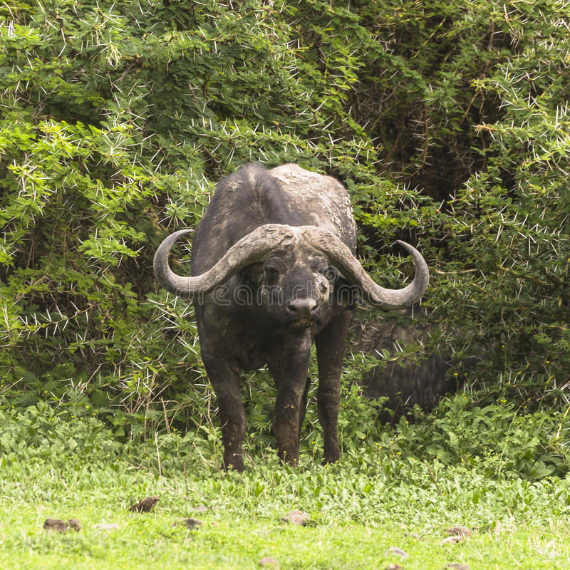 Portrait of a wild african buffalo stock photography