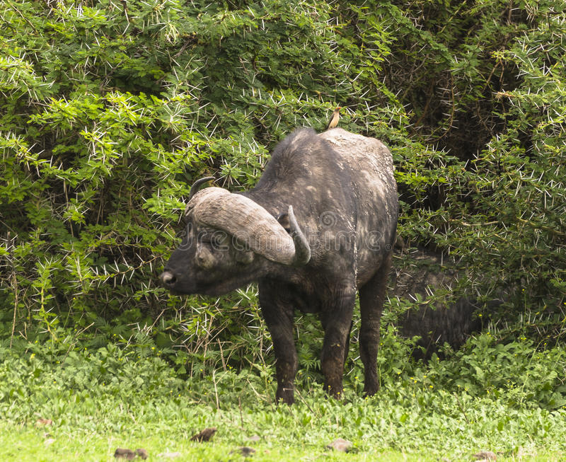 Portrait of a wild african buffalo stock photo