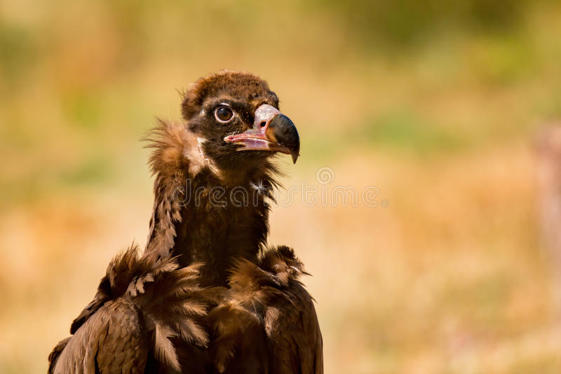 Portrait of a wild black vulture royalty free stock image
