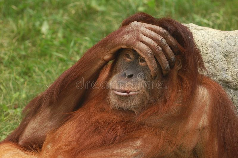 Portrait of wild brown red monkey orangutan Pongo pygmaeus with hand on his head, liying on stone. Sad monkey emotion `Oh my God` stock photography