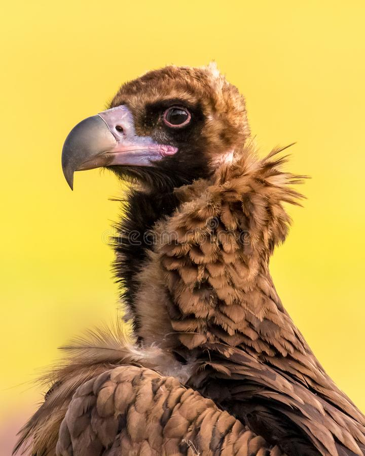 A portrait of wild Eurasian black vulture. royalty free stock photo