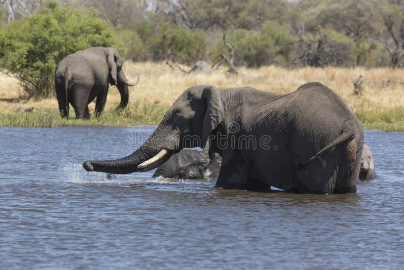 Portrait of wild free elephant showering. Portrait of wild free bull elephant showering in river stock images