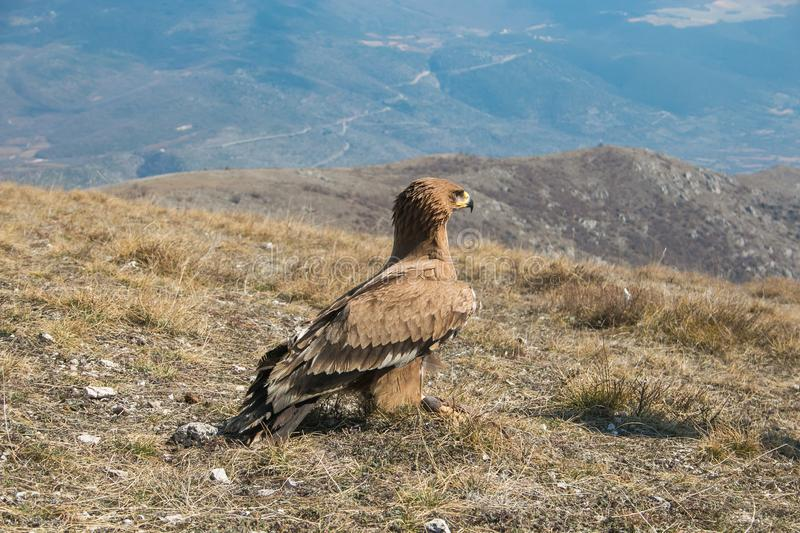 Portrait of wild golden eagle looking the panorama royalty free stock image