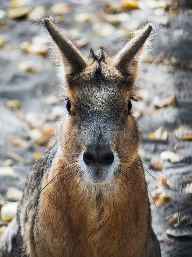 The portrait of a wild hare is very close. stock image