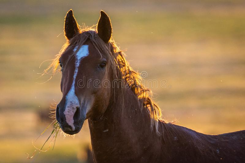 Portrait of wild horse in wildlife royalty free stock image
