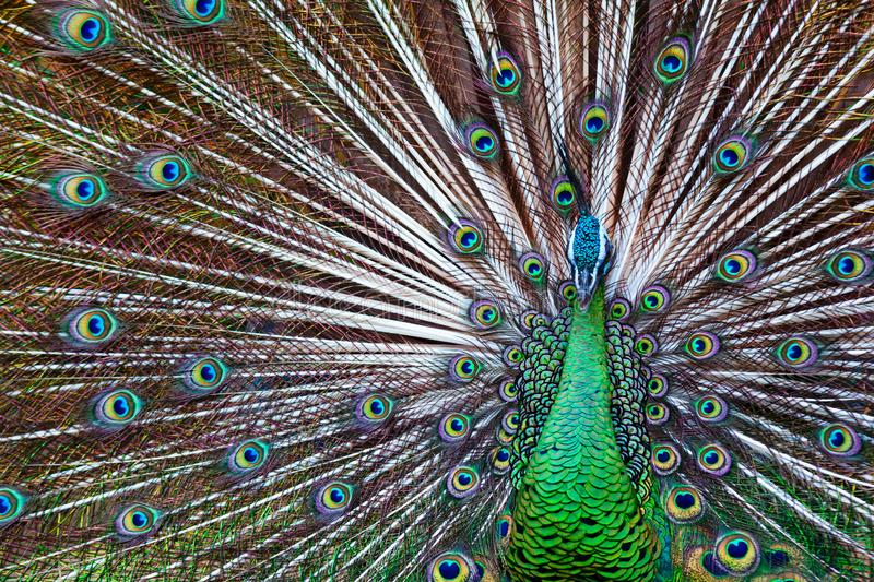 Portrait of wild male peacock with fanned colorful train. Green Asiatic peafowl display tail with blue and gold iridescent feather. Natural eyespots plumage royalty free stock photos