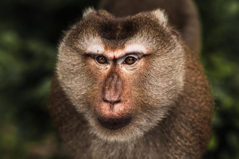 Portrait of a wild monkey. A selfie of a monkey. Macaque looks at the camera. Wild primates. Wild animal. Animal eyes. Anthropoid royalty free stock photo