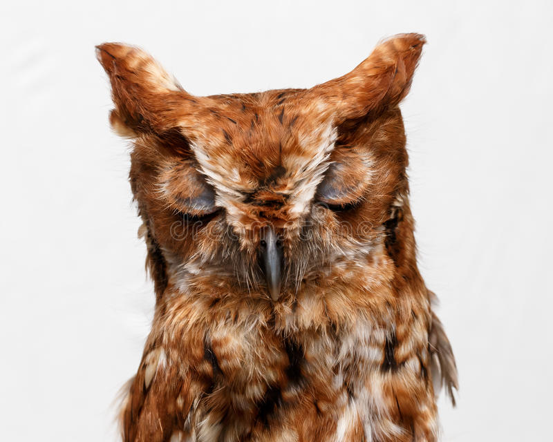 Download Portrait of wild owl stock image. Image of asleep, face - 26956903