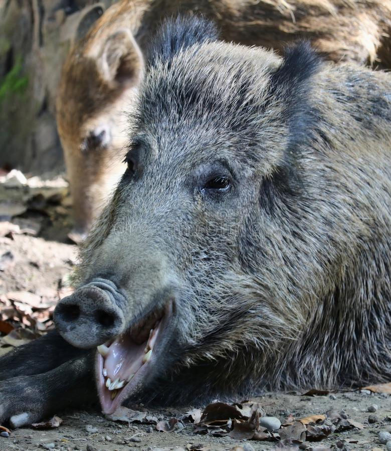 Portrait of a wild pig yawning with it`s piglet royalty free stock photos