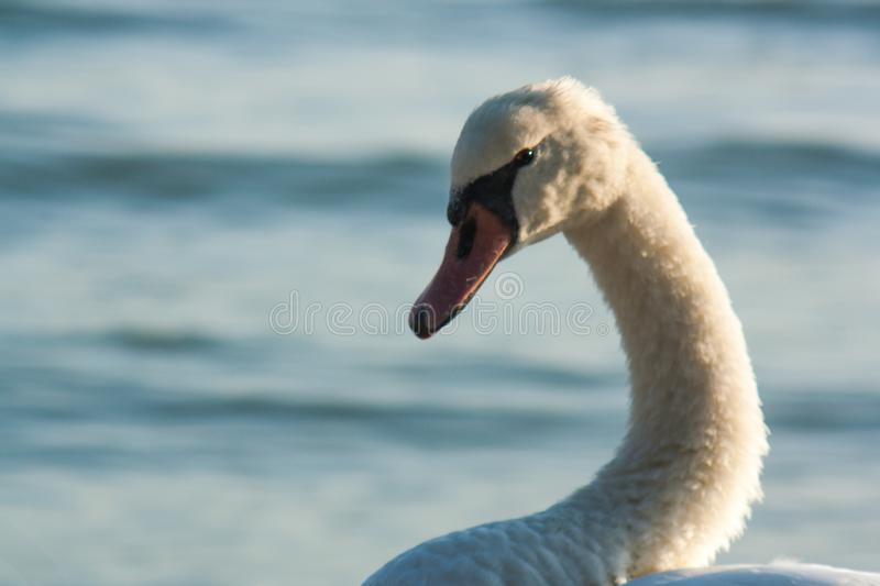 Portrait of a wild swan on a lakeside royalty free stock photo