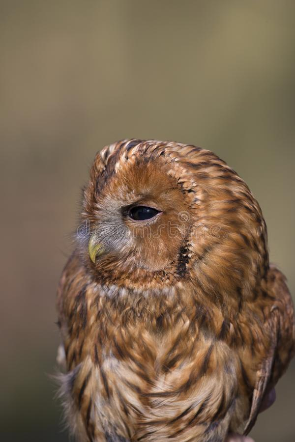 A portrait of a wild Tawny owl Strix aluca caught to be banded and ringend in Germany. royalty free stock photography