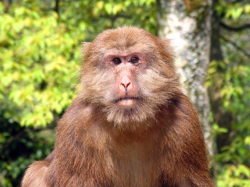 Portrait of wild Tibetan macaque (Macaca thibetana) in Emei Mountains, Sichuan province, China. Portrait of wild Tibetan macaque (Macaca thibetana) in Emei stock images