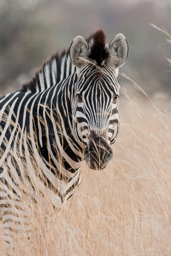 Portrait of a wild Zebra in southern Africa. stock photos
