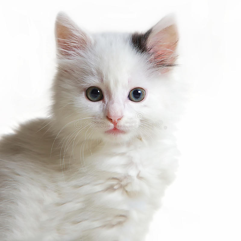 Download Portrait of withe cat stock photo. Image of wildlife - 17337246