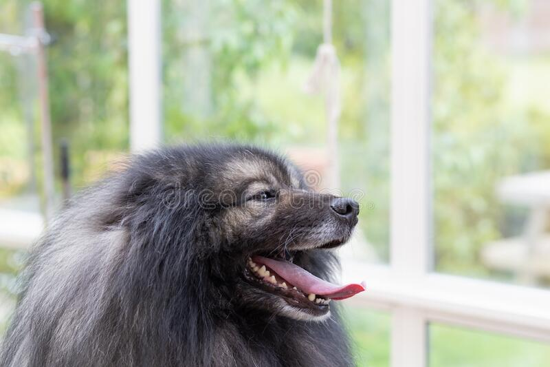 Portrait of Wolf Spitz Dog stock images