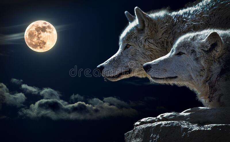 Portrait of wolves with full moon royalty free stock photo