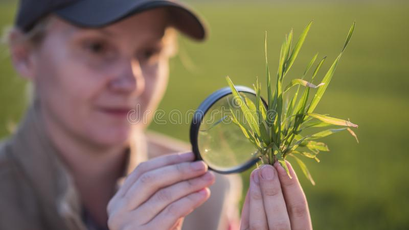 Portrait of a woman agronomist studying wheat shoots through a magnifying glass royalty free stock photo