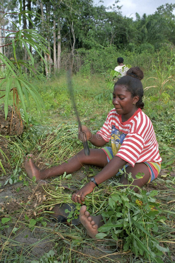Village life, woman harvesting peanuts. Surinam, Maroon village, Stoelmanseiland, District Sipilawini: A woman from the Ndjuka tribe during the peanut crop, the royalty free stock photography