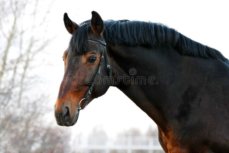 Portrait of a wonderful bay horse stock images