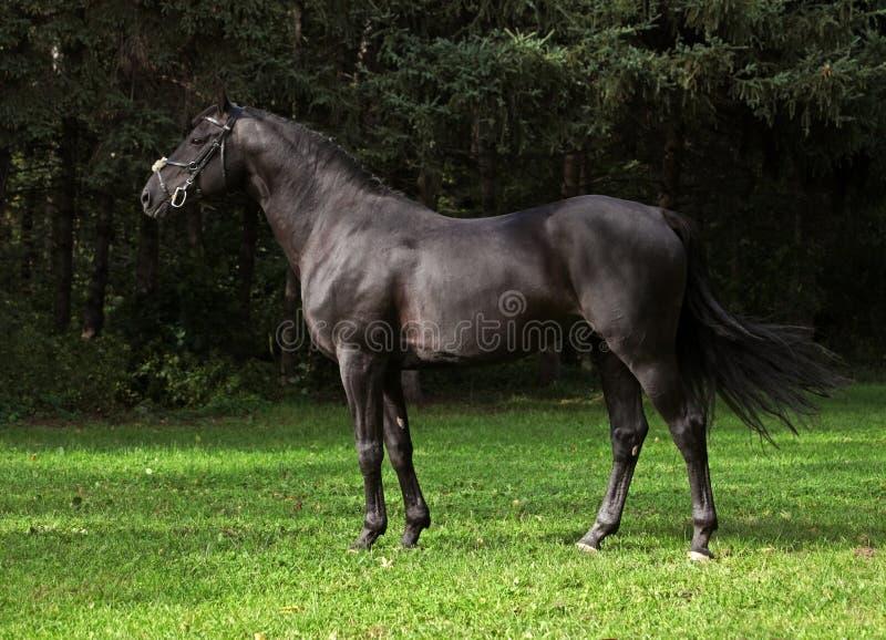 Portrait of wonderful black sportive stallion royalty free stock images
