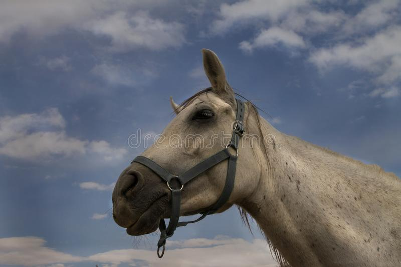 Portrait of wonderful white horse on sky background stock image