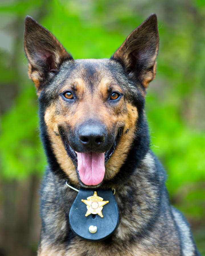 Portrait of working police dog. With badge royalty free stock photo