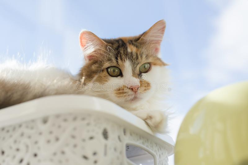 Portrait of 10 year old domestic tricolor female cat looking at the camera lying on the windowsill, blue sunny sky background.  royalty free stock images