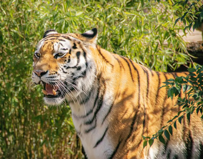 Portrait of ussurian tiger. Portrait  of yelling ussurian tiger royalty free stock image