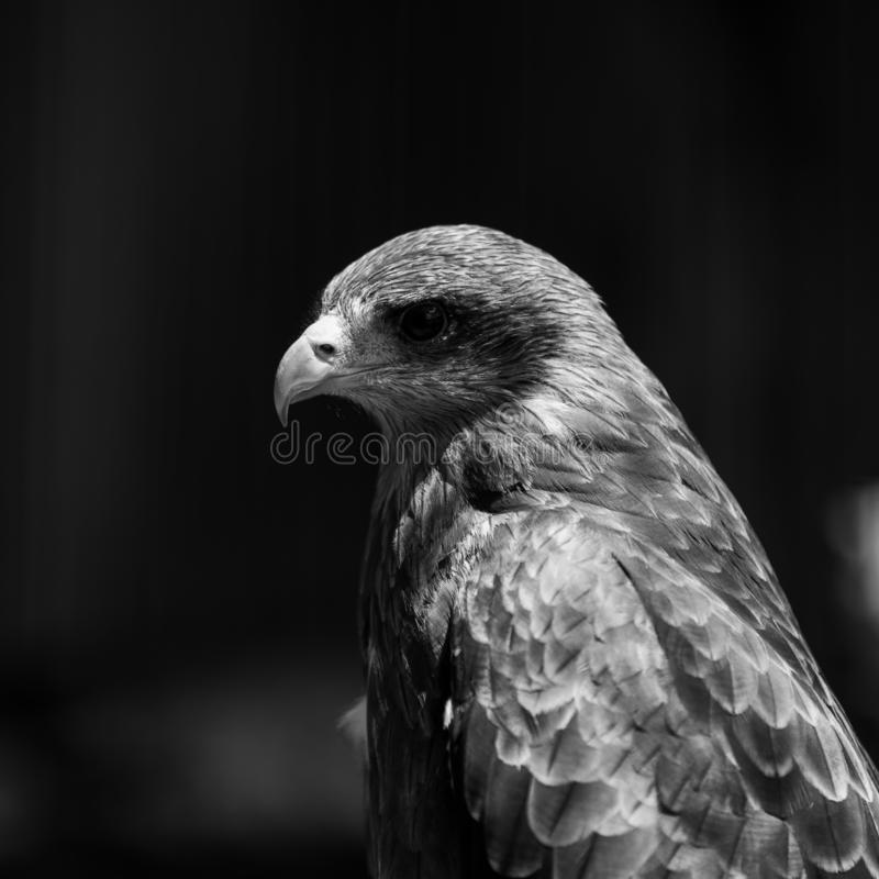 A portrait of a Yellow Billed Kite. A Yellow Billed Kite at the African Raptor Centre bird sanctuary, Natal Midlands, South Africa royalty free stock photos