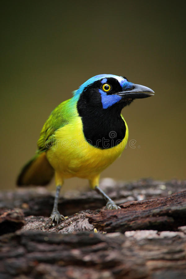 Portrait of yellow bird with blue head Green Jay, Cyanocorax yncas, wild nature, Belize royalty free stock image