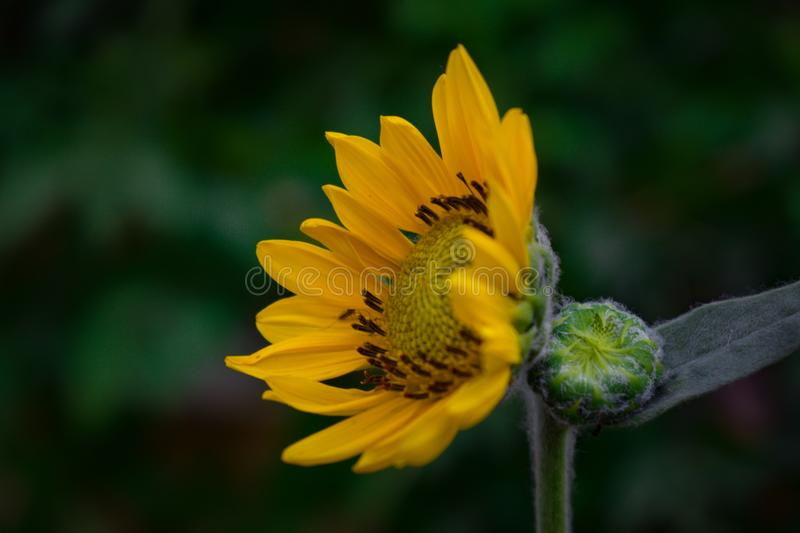 The portrait of yellow flower,it is also a wallpaper, the sunflower portrait along with its bud and beautiful colors. Sunflowerthe, flowerit, leaf, insects royalty free stock image