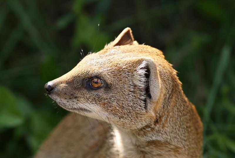Close up of a Yellow Mongoose royalty free stock images